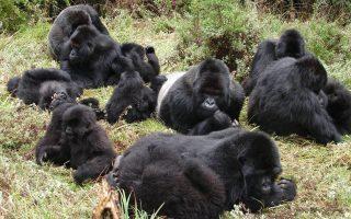 Titus Gorilla Group